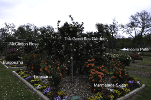 The_Generous_Gardner_Climbing_Rose_Garden_Dallas_Texas_Lee_Ann_Torrans