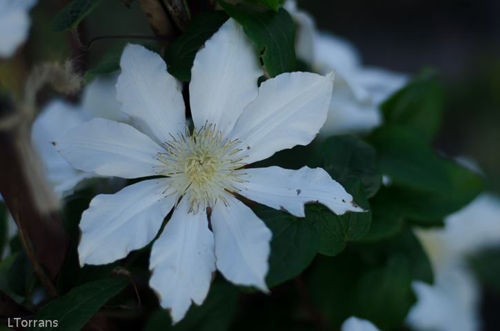 White_Clematis_Single_Texas_Dallas_April