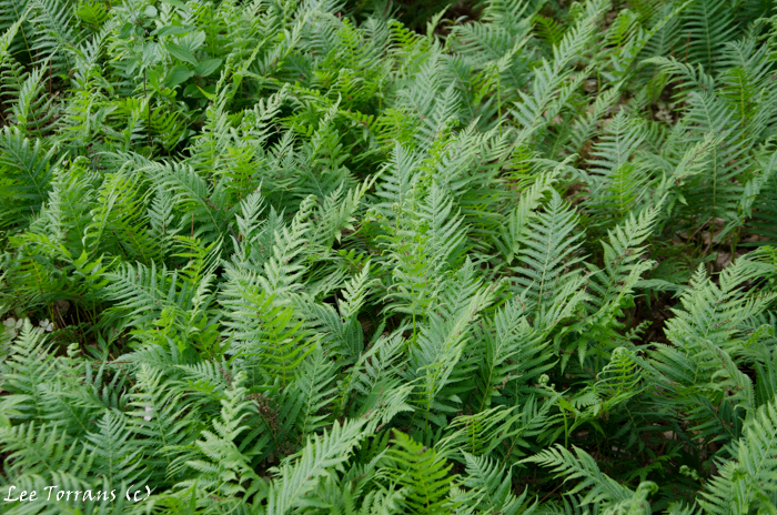 Wood fern can become invasive! So have a plan.
