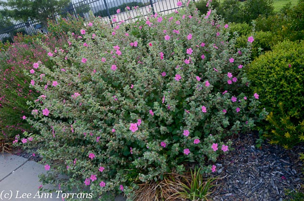 The Rock Rose a Texas Perennial