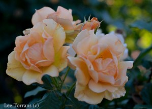 Dallas Landscaping Autumn Sunset Shrub Rose Lee Ann Torrans