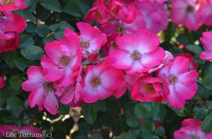 Chuckles_Floribunda_Rose_Texas_Lee_Ann_Torrans-2