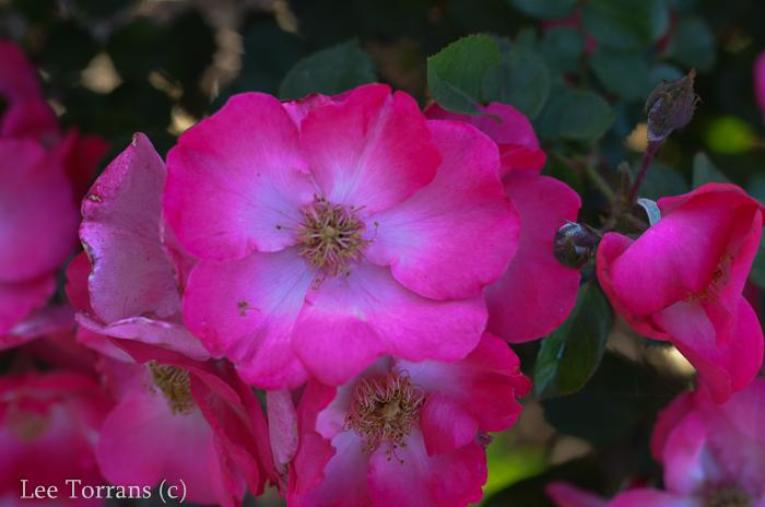 Chuckles, a Floribunda,has a white center that makes it stand out in your garden!