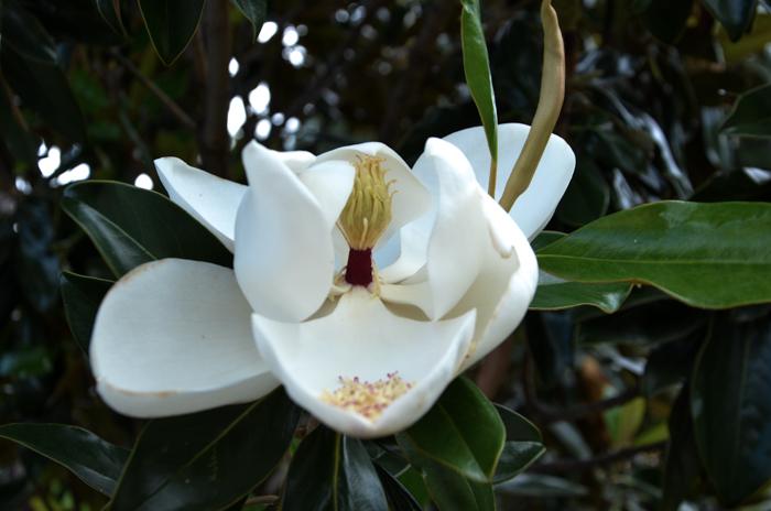DD Blanchard Magnolia Tree Hardy Blooms