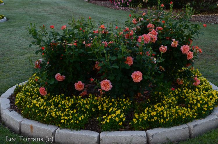 Dick Clark Grandiflora Rose for Texas