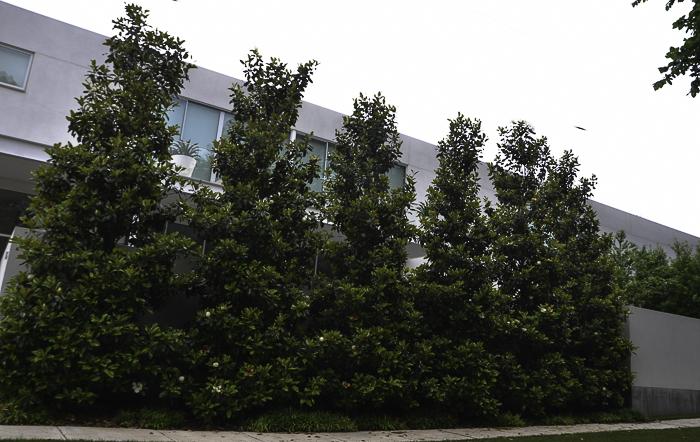 Magnolia_Tree_Hedge_Row_Texas_Lee_Ann_Torrans