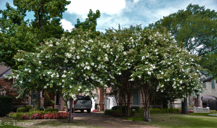 Natchez white crape myrtles flank the door. These will reach thirty feet in height in Texas.