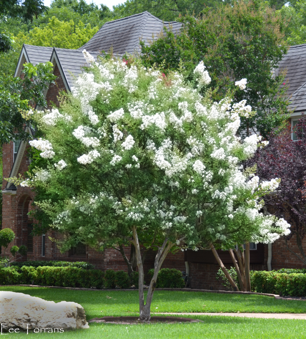 Townhouse White Crape Myrtle