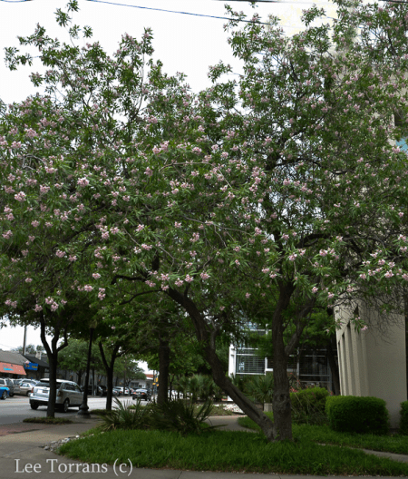 Chitalpa Tree, blooms in the summer. Is a cross between the native Texas tree Desert Willow ant the Catalpa.