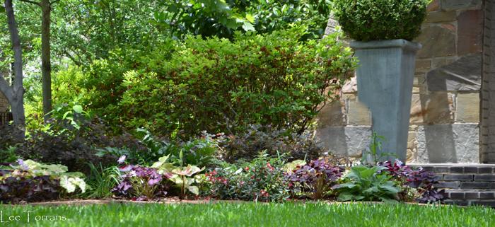 Shade Garden Perennial Purple Shamrock with Holly Ferns.