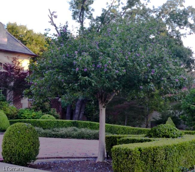 Rose of Sharon Althea Tree