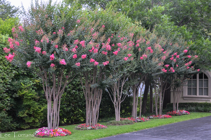 Tuscarora Crape Myrtles. Tuscororas lend themselves to grove planting with their upright branching and hanging pannicles.