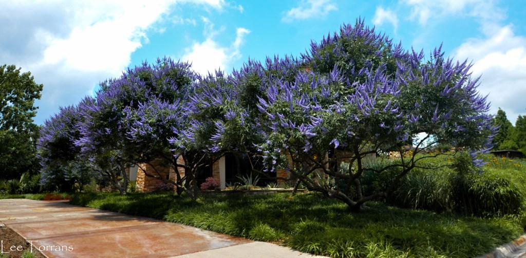 Texas Lilac Vitex Tree First Week of June