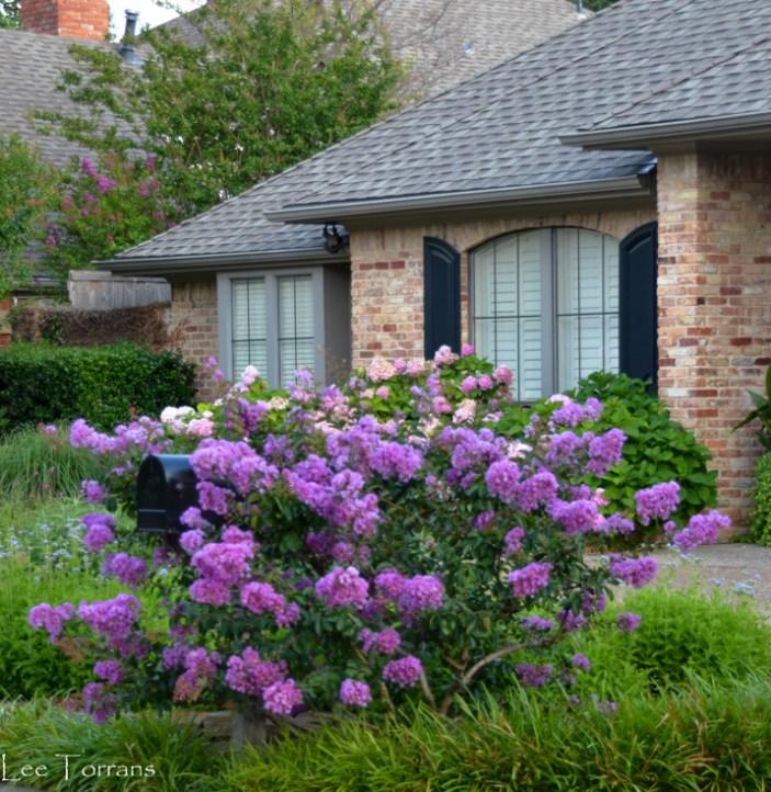 Dwarf_Centennial_Crape_Myrtle_Purple_Lee_Ann_Torrans_Dallas_Gardenin-450