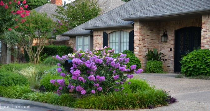 Miniature_Purple_Crape_Myrtle_Texas_Lee_Ann_Torrans_Dallas_Gardening-3