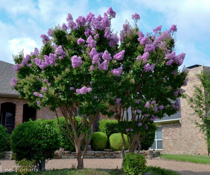 Pink_Crape_Myrtle_Lee_Ann_Torrans_Dallas_Gardening-2