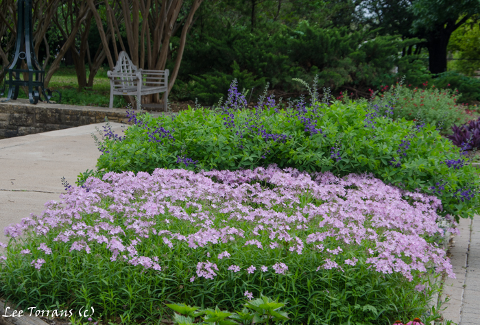 Prarie Phlox Pilosa and April blooming Texas perennial with Purple Smoke a False Indigo Baptista in the Background