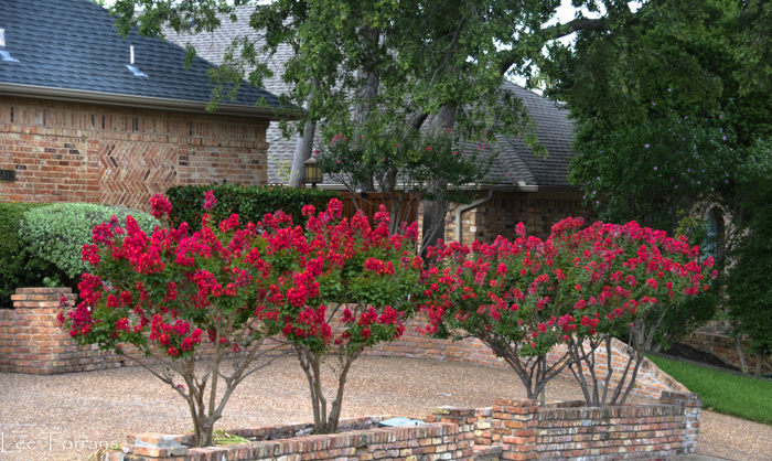 Red Rocket Dwarf Red Crape Myrtle