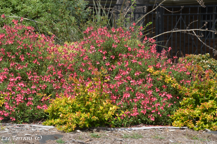 Scarlett Salvia Gregii in Texas