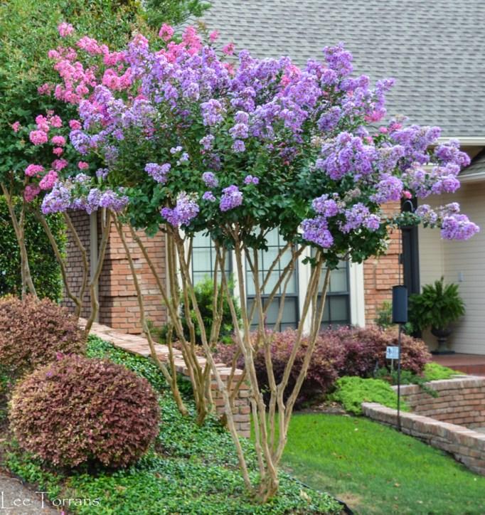 Standard_Crape_Myrtle_Lee_Ann_Torrans_Dallas_Gardening