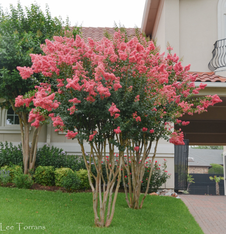 Tuscarora Crape Myrtles. The largest pannicles in the crape myrtle world. These crapes blend beautifully with the red tile roof here.