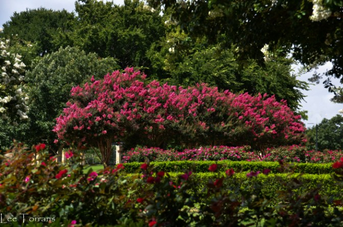 Tuskegee Watermelon Red Crape Myrtle