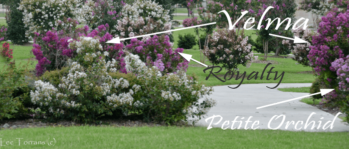 Velma, Royalt and Petite Orchid - Miniature Purple Crape Myrtles
