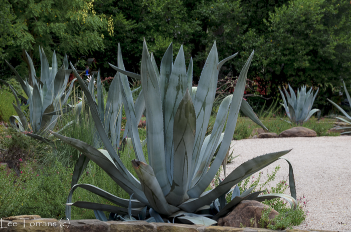 Agave Century Plant Texas Gardening