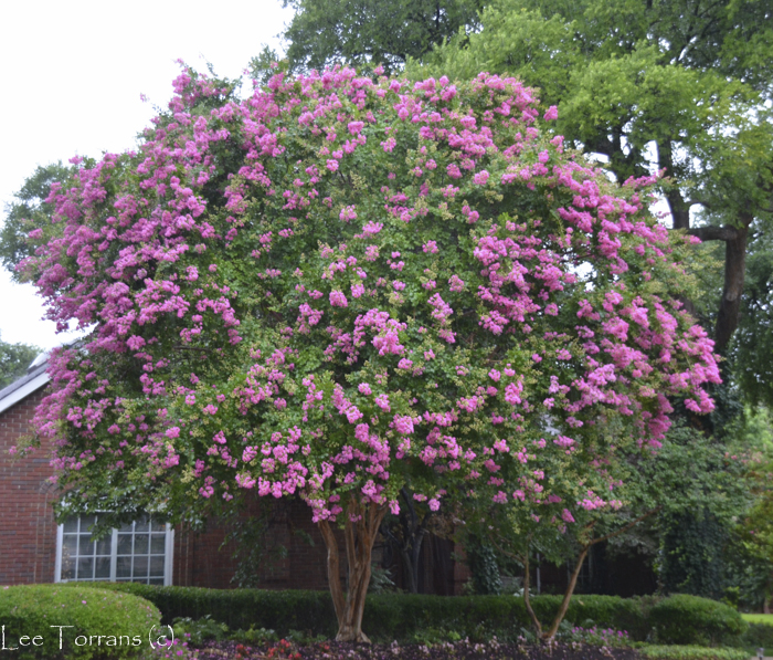 Pink Large Choctaw Crape Myrtle will reach 27 feet
