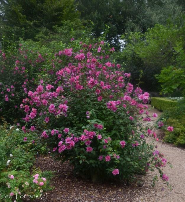 Double_Altheas_Arboretum_Lee_Ann_Torrans-2