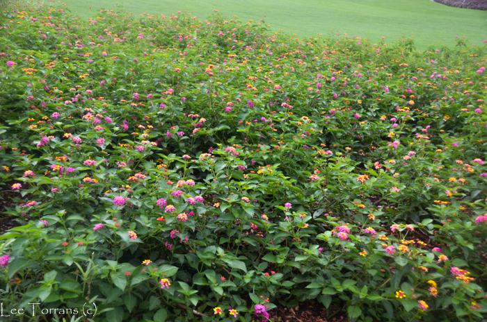 Pink_Lantana_Texas_Gardening_Lee_Ann_Torrans-2