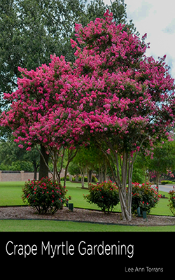 watermelon red is one of the most coveted of crape myrtles for its extensive pannicles profuse blooms and shape it is one of my favorites for its color
