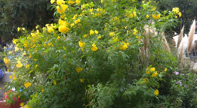 Esperenza, a yellow Texas Perennial that blooms April to June.