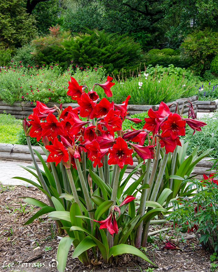 Amaryllis Lilies are a bulb not a perennial but they come back every year and do incredibly well in Texas Landscape design.