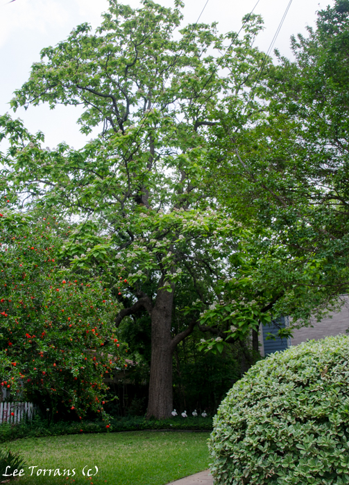 Catalpa Tree in Dallas Landscape Garden Design