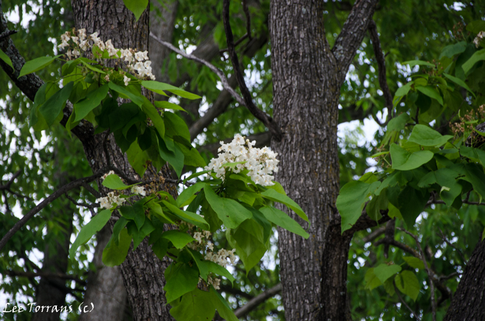Catalpa Tree Blooms in April in Texas
