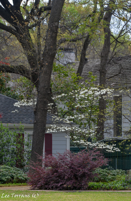 Dogwood Trees in Texas