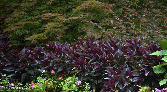 Persian Shield with barberry and Japanese Maple.
