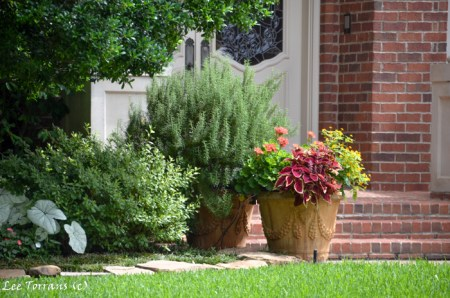 Rosemary. Perennials in containers in Texas landscape design.