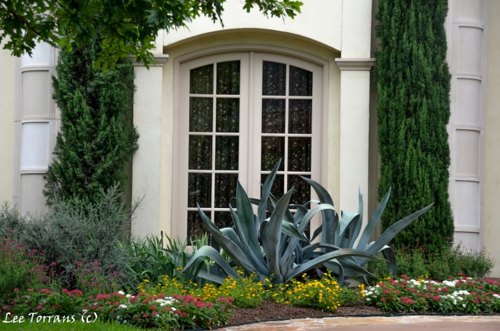 Native plants in Texas landscaping include the Agave, seen here mixed with cedars and cotoneaster shrubs.
