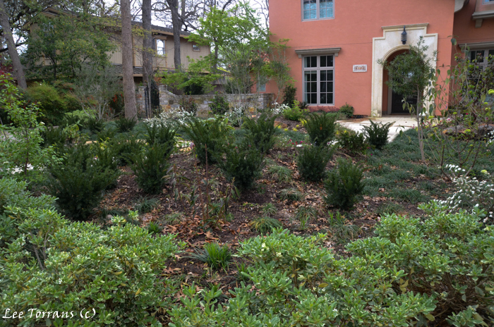 Upright Yew shrubs in Dallas Landscaping