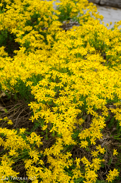 Damiantia, Chrysactinia Mexicana, Yellow Perennial for Texas