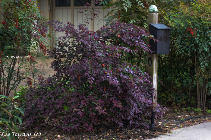 Mail-Box-Planting-Barberry-Nandina
