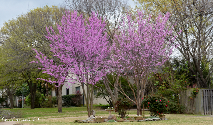 Redbuds And Oklahoma Red Bud Plant Now Lee Ann Torrans Gardening