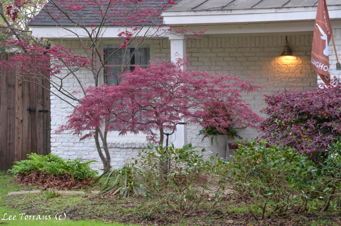 Crimson lace leaf Japanese Maple.  This is clearly a young Japanese Maple but it is beautiful with a larger Japanese Maple and the shrub, Loropetalum.
