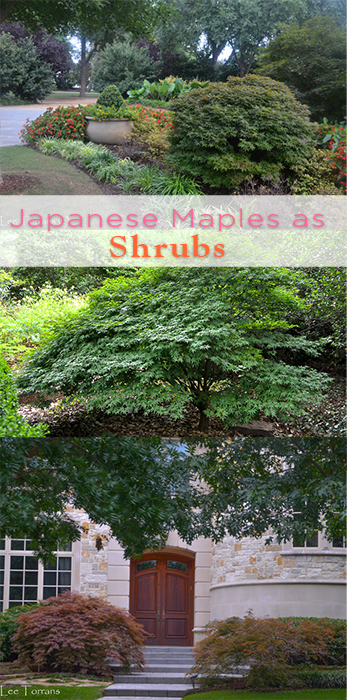 Japanese Maples as Shrubs!