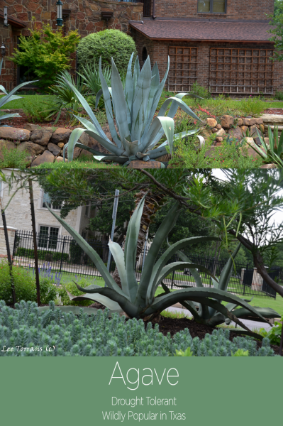 Agave: There are over 150 varieties. Used to make tequila and studies to evaluated drought survival abilities.