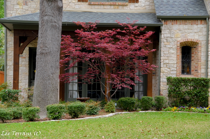 Dallas Landscaping: Japanese Maple under an oak tree