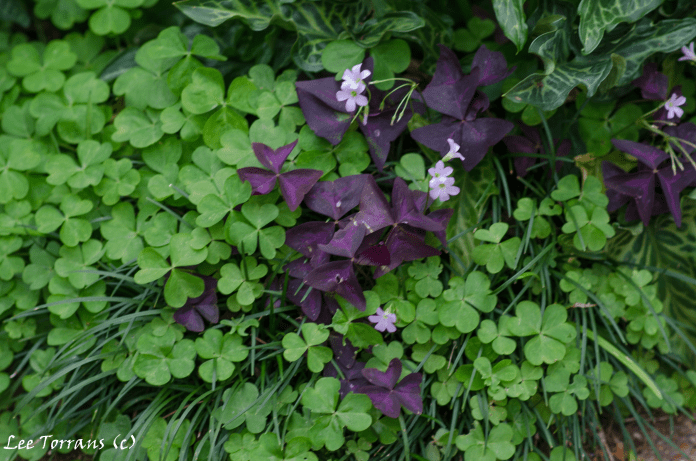 Oxalis and purple shamrock mixing it up in Dallas Texas Landscape Design