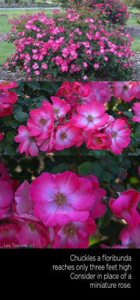 Chuckles a small floribunda reaching just over two feet in height